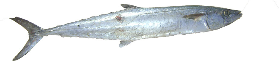 King_Mackerel